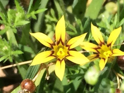 キバナニワゼキショウ 初夏にごく小さな黄色い花