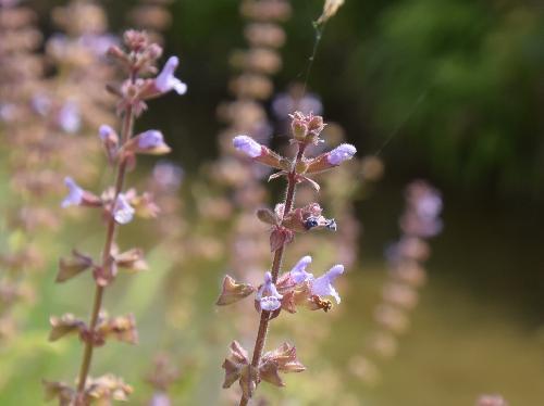 ミゾコウジュ 晩春から初夏 極小さな紫色の花