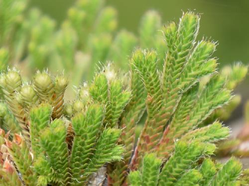 イワヒバ ヒノキに似た葉