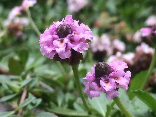 ヒメイワダレソウ 春夏秋 小さな赤紫色の花