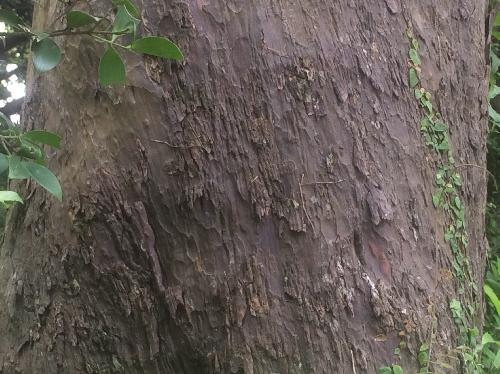 ナギ 黒褐色 縦方向の皮目