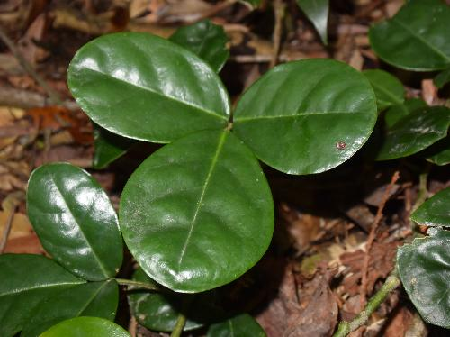 ミヤマトベラ 3出複葉 互生 小葉は全縁の楕円形~倒卵形