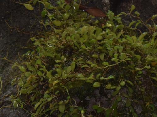 マメヅタラン 豆蔦蘭