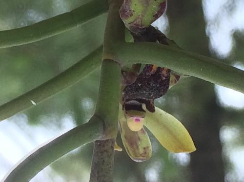 ボウラン 初夏に黄緑色と唇弁が黒紫色の花