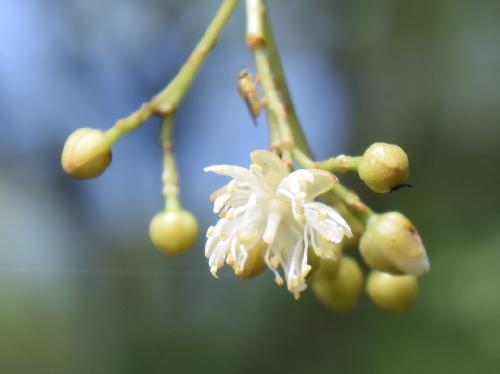 シナノキ 晩春~初夏に小さな白い花