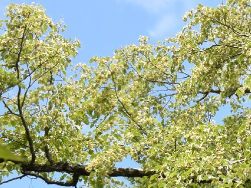 シナノキ 白い花を多数つける