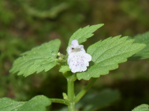 ミヤマナミキ 晩夏に小さな白い花を塔状に付ける