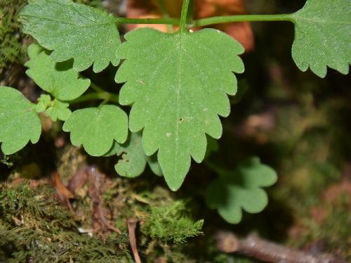 ミヤマナミキ 葉は広卵形 対生 粗い鋸歯