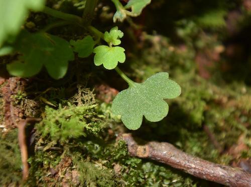 ミヤマナミキ 基部の葉は円形 丸い鋸歯 対生