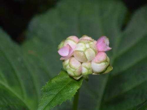 ギンバイソウ 晩夏 ピンクの装飾花