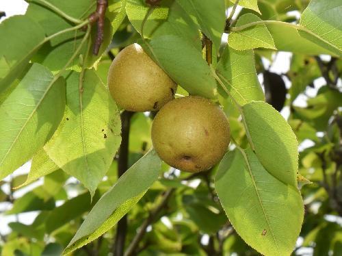 ヤマナシ 初秋に黄褐色に熟す球形