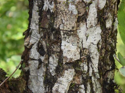ヤマナシ 樹皮は白褐色で割れる