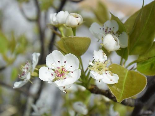 ヤマナシ 初春に白い花