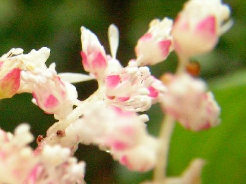 アカショウマ 初夏に小さな赤みを帯びた白い花