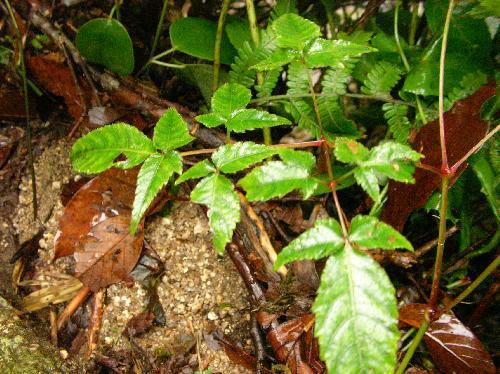 アカショウマ 3回3出複葉 小葉は卵形 浅い重鋸歯