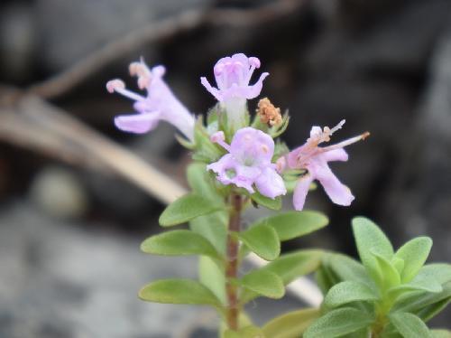 イブキジャコウソウ 初夏 ピンクの小さな花