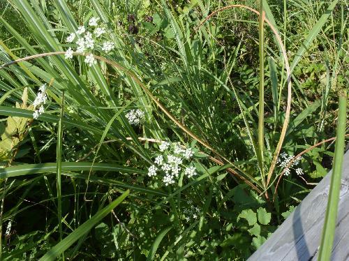 ミツバグサ 三葉草