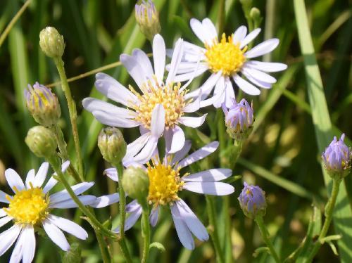 シオン 晩夏から初秋に薄青い花