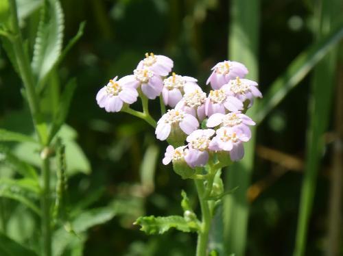 アソノコギリソウ 晩夏~初秋 薄紫色の小さな花