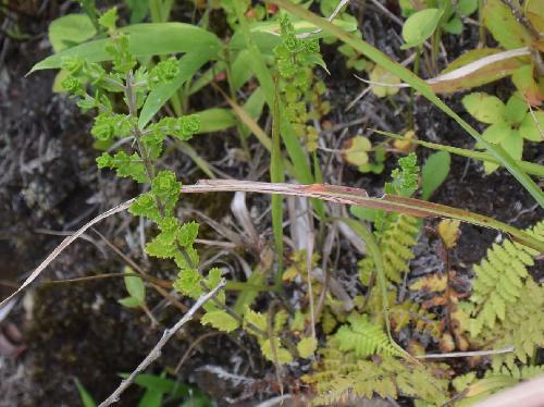 筑紫小米草