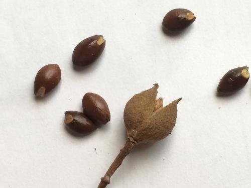 イスノキ こげ茶色の種子 白い目 楕円形