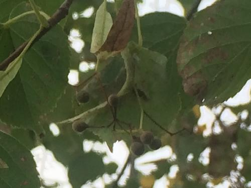 シナノキ 秋 小さな褐色で球形の実