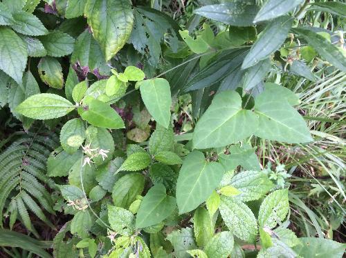 ナンゴクカモメヅル 南国鴎蔓