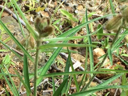 タヌキマメ 細長い葉 互生