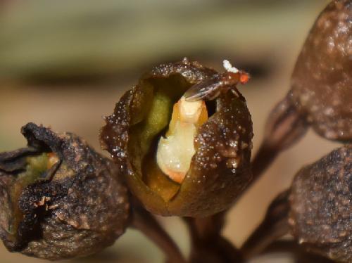 アキザキヤツシロラン 花粉嚢を背につけたショウジョウバエ
