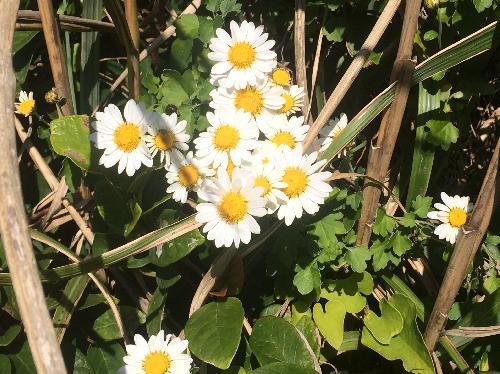 サツマノギク 薩摩野菊
