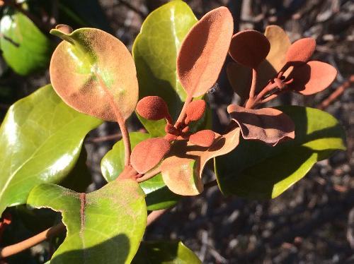オオバヤドリギ 赤茶色の星状毛が密生する