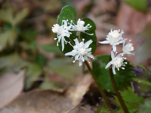 セリバオウレン 早春 白い雄花