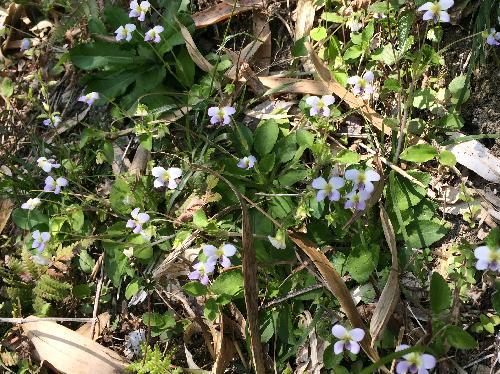 ツクシスミレ 筑紫菫