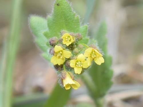 イヌナズナ 春~初夏にごく小さな黄色い花