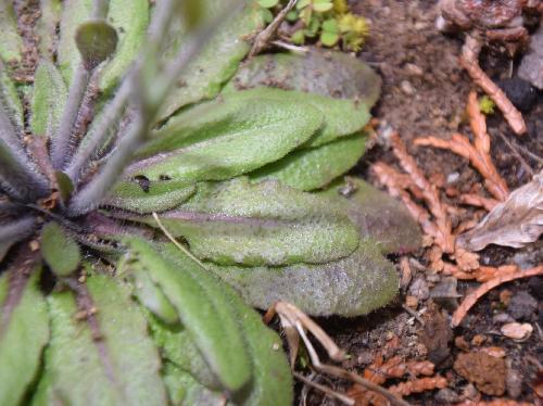 シロイヌナズナ 根生葉は卵形から倒卵形で浅い鋸歯