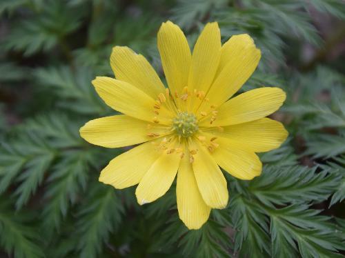 ミチノクフクジュソウ 晩冬~春に黄色い花