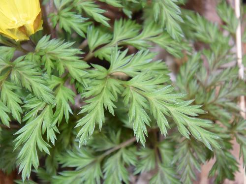 ミチノクフクジュソウ 三角状の3~4回羽状複葉