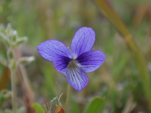 アリアケヒメスミレ 春に紫条の多い青い花