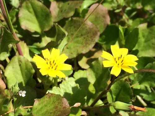 コオニタビラコ 春 黄