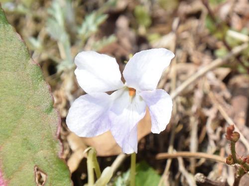 シロバナタチツボスミレ 晩春白い小さな花