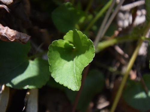 シロバナタチツボスミレ 円形ハート型の葉 鋸歯 互生