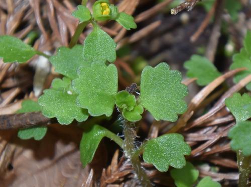 ツクシネコノメソウ 葉は半円形で丸い鋸歯 対生