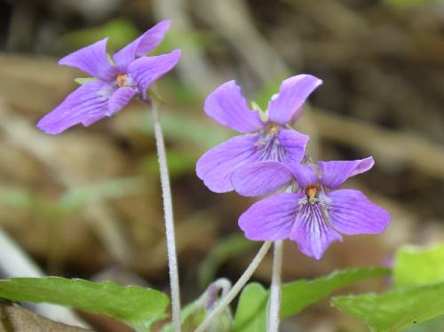 サクラスミレ 晩春~初夏 赤紫色の花