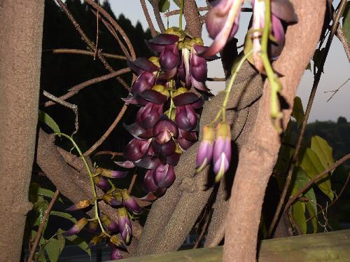 アイラトビカズラ 茎は暗茶褐色