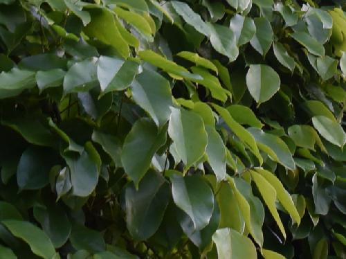 アイラトビカズラ 3出複葉で小葉は全縁の楕円形