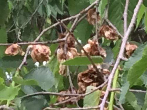 ハルニレ 晩春~初夏1cm強の翼果が数個まとまる
