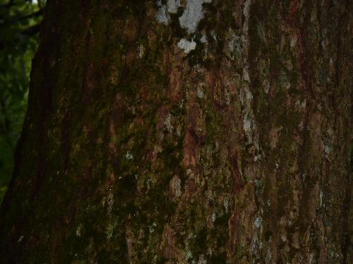 ツガ 赤褐色で縦方向の割れ