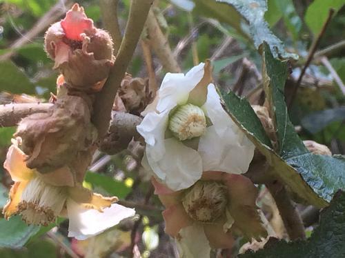 ホウロクイチゴ 晩春 白い花