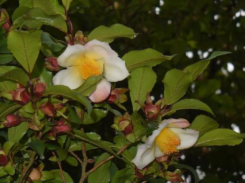ヒコサンヒメシャラ 初夏に白い花