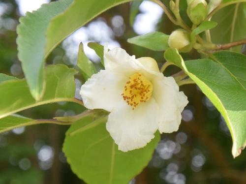 ヒメシャラ 晩春~初夏に小さな白い花